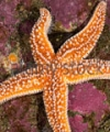 Immune Properties Corroborated By A. Rubens Sea Star Igkappa Gene