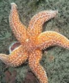 Cell-Mediated and Humoral Immune Responses in the Sea-Star Asterias Rubens (Echinoderm): Notion of Invertebrate Primitive Antibody